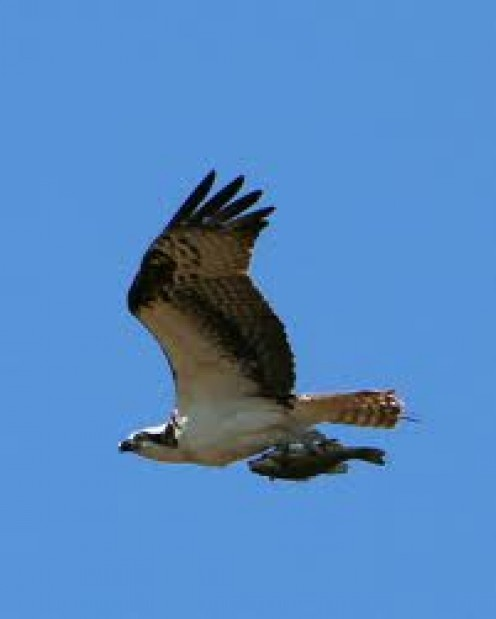 Osprey  in flight carrying a good size fish