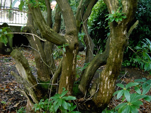 OLD TREE CAN PRODUCE SUBSTANTIAL TRUNKS.