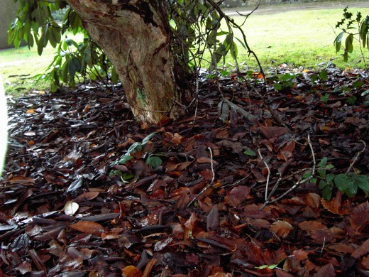 LEAF LITTER IS DEEP AND CAN BE TOXIC TO OTHER SPECIES.