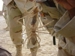Camel Spiders: Desert Myth or Giant Hoax?