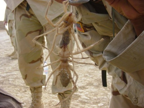 Though at first glance, these camel spiders appear huge, upon closer inspection it is clearly an optical illusion caused by their closeness to the camera. (Note the cuff of the uniform's relative size next to the spiders.)