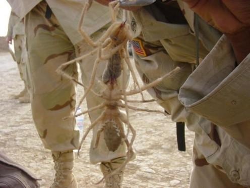 Giant Spider Eating A Snake Is Absolutely Horrifying Camel Spiders Desert Myth or