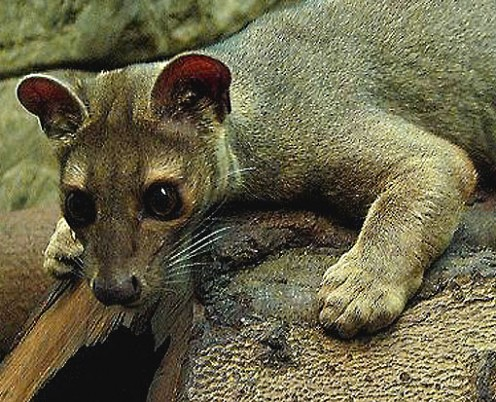 The amazing Madagascar Fossa up close