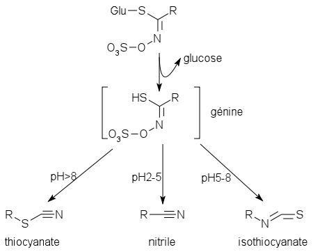 Glucosinolate degradation to isothiocyanate