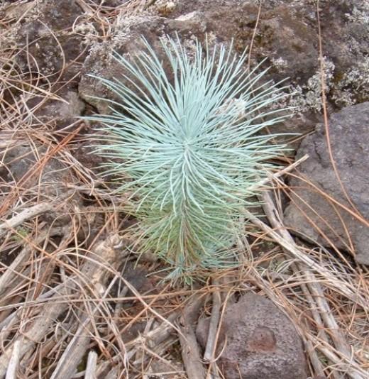Baby Canary pine tree