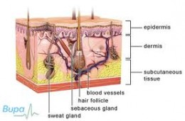 epidermis, dermis, subcutaneous layers