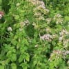 Oil of Oregano- The Strongest Most Effective Antibiotic Known to Man