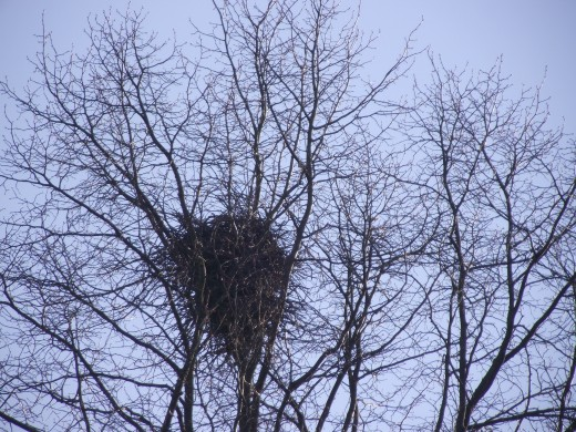 TALL TRESS ARE USUALLY CHOSEN FOR THE NEST SITE HOWEVER THEY WILL USE COMPARITIVELY LOW SHRUBS WHERE TREES ARE NOT AVAILABLE {BELOW}