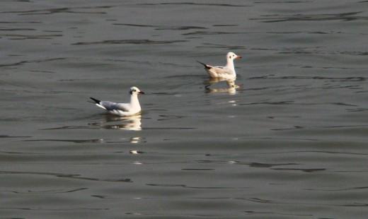 Gulls in Ganga
