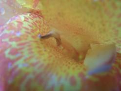 """Closeup of """"King Humbert"""" Canna Lily"""