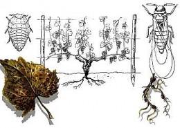 Root louse, Phylloxera vastatrix