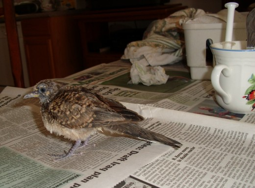 Baby dove almost ready to set out on his own again.