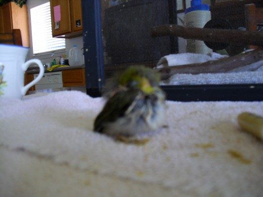 This little Japanese white-eye was injured when he fell out of his nest.  His mom didn't come back to feed him on the ground  because it was a dog park with lots of dogs.