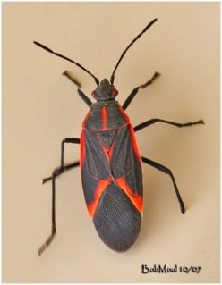 A Not So Informative Hub On Box Elder Bugs