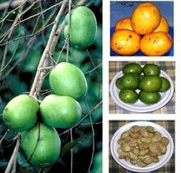 Irvingia tree, fruit, and nuts