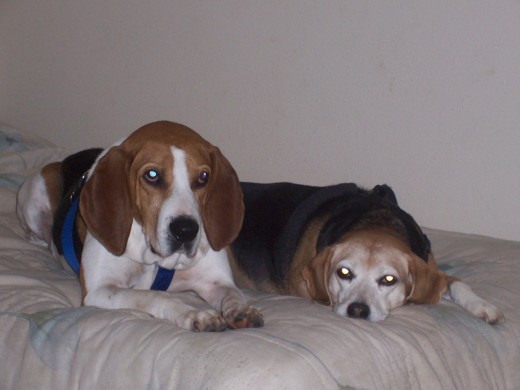 Our two hounds, Honker and Brandy, are part of our pack--our family.