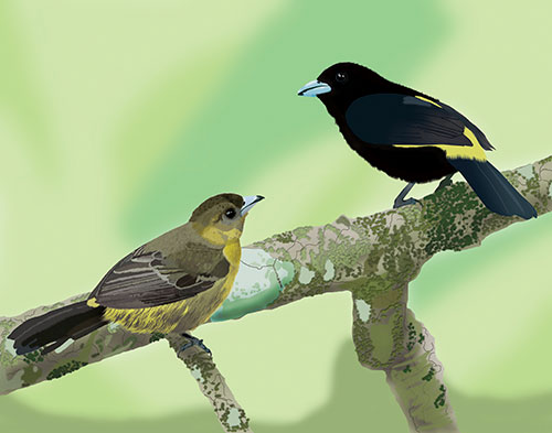 Lemon-rumped Tanagers