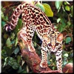 The Asian Leopard Cat: Ancestor of all Bengals