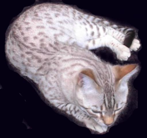 """A Snow: A lovely cat, but is it an actual """"Bengal""""?"""