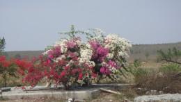 Boganvilla flower/tree/bush
