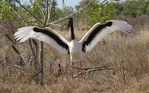 A jabiru - in flight, from a distance, they resemble pteredactyls - seriously!