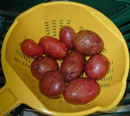 Step 2- Wash Red Potatoes thoroughly