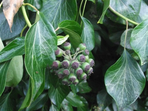 IVY BERRIES ARE AN IMPORTANT LATE WINTER FOOD SUPPLY.