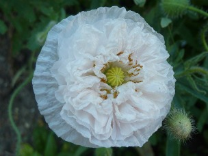 "Carnation Poppy, ""French Flounce"" looks like a cancan dancer."