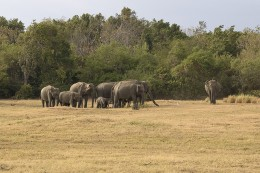 Elephants at the Minneriya National Park