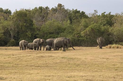 Elephants at the Minneriya National Park