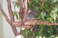 Information about Koalas