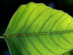 Why are plants green? Photosynthesis & Chlorophyll