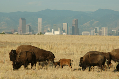 Rocky Mountain Arsenal Bison Herd.