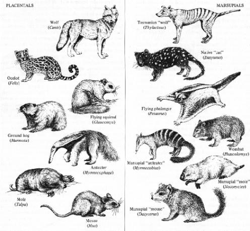 Chart of marsupials