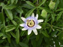 Passion flower on my pool fence-I love this.