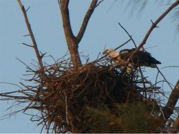 Nest built on tall, solitary tree.