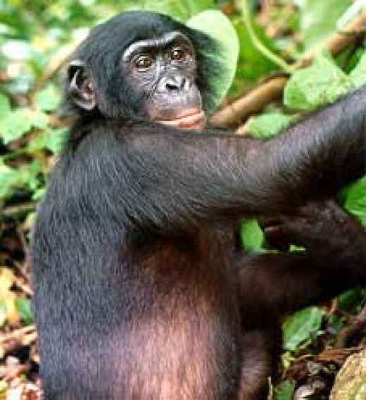 See: http://en.wikipedia.org/wiki/File:Bonobo.jpg