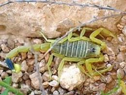 A deathstalker scorpion.