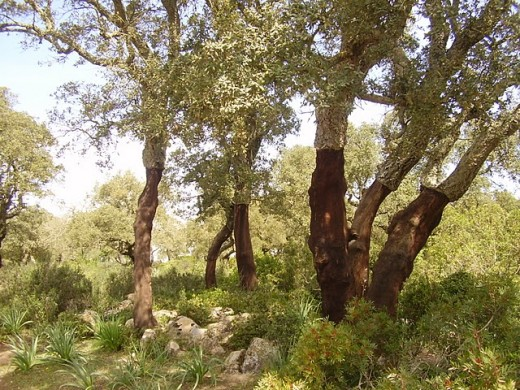 Sardegna, Italy. Cork trees