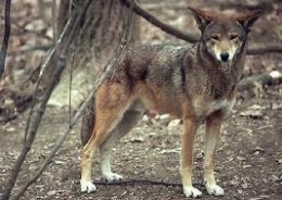 A Female Red Wolf.