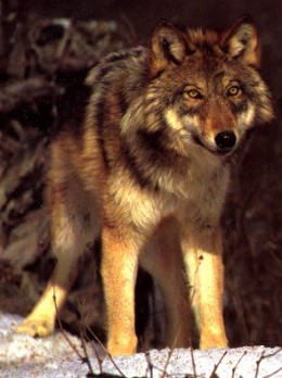 A Male Red Wolf