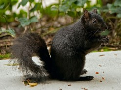 I Didn't Even Know There Were Black Squirrels...