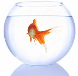 The truth about putting a goldfish in a fish bowl