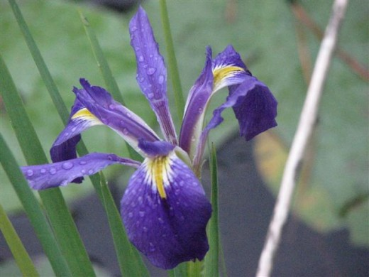 A dark blue-purple LA Iris in Louisiana.