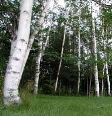 Birch trees...one of the sacred Celtic trees.