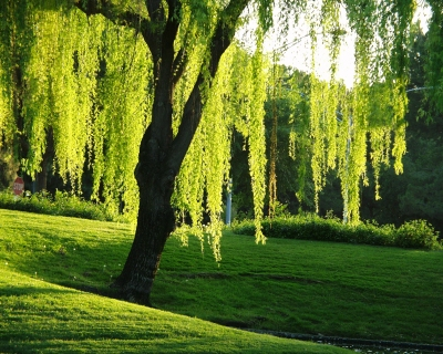Beautiful Willow Tree...another of the sacred Celtic trees and part of the Ogham.