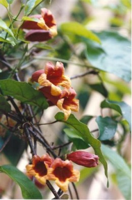 Crossvine attracts hummingbirds to the garden.