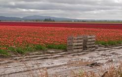Travel Destination Event – Skagit Valley, Washington Annual Tulip Festival
