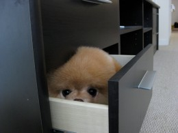 Meet the Cutest Dog in the World Boo the Pom