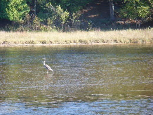 Blue Heron on the Sauble River, Ludington State Park